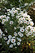 Glattblattaster 'Weißes Wunder'