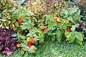 Lampionblume, Buntnessel und Purpurglöckchen im Beet