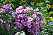 Glattblattaster 'Rosa Perle'