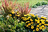 Terrassenbeet mit Strohblumen Granvia 'Gold', japanisches Rotgras 'Red Baron' und Abelie 'Kaleidoscope'