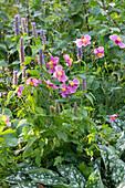 Herbstanemone 'Rosenschale' mit Duftnessel und Lungenkraut