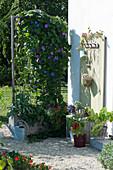 Holzkasten mit Prunkwinde und Bohnen als Sichtschutz, unterpflanzt mit Kapuzinerkresse, Brokkoli, Ziersalbei und Zauberschnee, Paprika, Mangold und Echeverien im Topf
