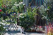 Herbstliche Terrasse mit Kapkörbchen Summersmile  'Cream', Zitronengras, Goldköpfchen 'Desert Gold', Schneeflockenblume und Herbstchrysantheme, Hund Zula