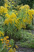 Goldrute und Sonnenhut blühen bis Oktober