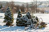 Verschneiter Garten mit Picea glauca 'Conica' (Zuckerhutfichten)