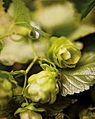 Hops – basic ingredient for making beer