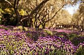 Lichtung mit Lavendel in Kalifornien, USA