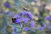 Bartblume mit Hummel und Biene