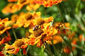 Biene auf Blüten von Sonnenbraut