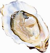Eine Auster vor weißem Hintergrund