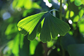 Blatt vom Fächerblattbaum
