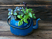 Basil in pots on an old garden counter