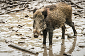 A wild boar in an animal park, Kottenforst near Bonn, North Rhine-Westphalia, Germany