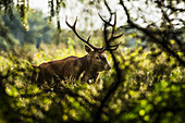 A 9-tine stag in a forest clearing