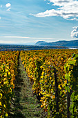 Hermitage vineyards in the Rhone Valley, France with the rhone and Ardeche hills in the background (autumn)
