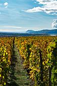 Herbstliche Hermitage Weinberge im Rhonetal mit Blick auf die Rhone und Ardeche-Hügel (Frankreich)