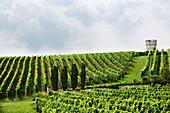 Weinlandschaft, Weingut Klaus-Peter, Rheinhessen, Deutschland