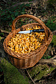 Basket with freshly collected chanterelles