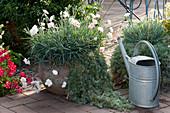 Gartennelken Devon Cottage 'Blush' mit Silber-Wermut in Terracotta-Töpfen