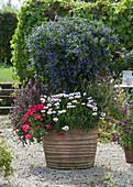 Enzianbaum mit Kapkörbchen Summersmile 'Rosy White', Hängegeranie und Strauchbasilikum als Unterpflanzung