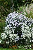 Herbstastern 'Weißes Wunder' und 'Rosenquarz' im Beet