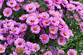 Herbstaster 'Barr's Pink'