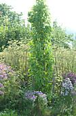 Säulen- Amberbaum 'Slender Silhouette' im Beet mit Herbstastern und Gewürzfenchel