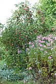 Beet mit Apfelbaum, Herbstaster 'Rosa Sieger' und Wollziest