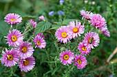 Rauhblattaster 'Barr's Pink' mit Biene