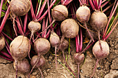 Fresh beetroots taken out of the ground in the garden
