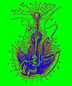 Octopus anatomy, illustration