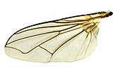Housefly wing, light micrograph