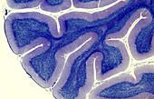 Human brain cerebellum, light micrograph