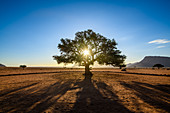 Sun shining through a tree, Namibia
