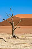 Dead tree in desert, Namibia