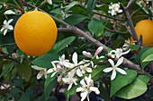 Meyer lemon (Citrus x meyeri) fruit and flowers