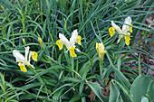 Corn-leaved juno iris (Iris bucharica) flowers