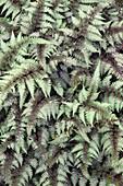 Ghost fern (Athyrium 'Ghost')