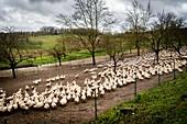 Duck breeding