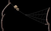 Triangle weaver spider, illustration