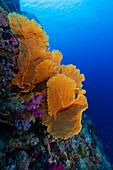 Giant sea fan on tropical reef slope