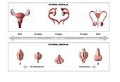 Reproductive development, illustration