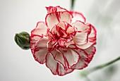 Carnation (Dianthus 'Time') flower