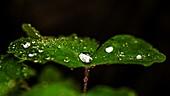 Raindrops on Aquilegia sp. leaf