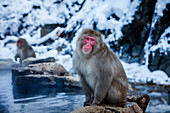 Japanese macaques at hot spring