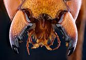 Asian giant hornet jaws