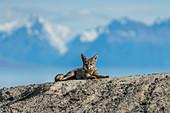 South American fox resting