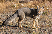 South American gray fox