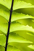 Close up of maidenhair fern stalk