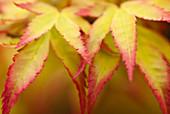 Close up of acer palmatum leaves